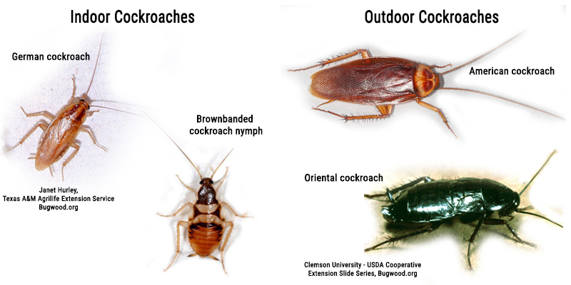 Common cockroaches