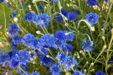 cornflower bachelor button flowers