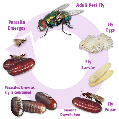 Fly parasite cycle