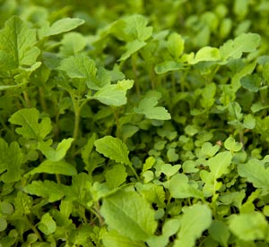 Mustard Mix cover crop