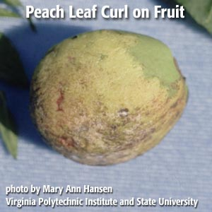 peach leaf curl on infected fruit
