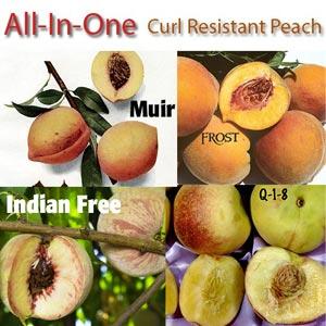peach leaf curl resistant peaches