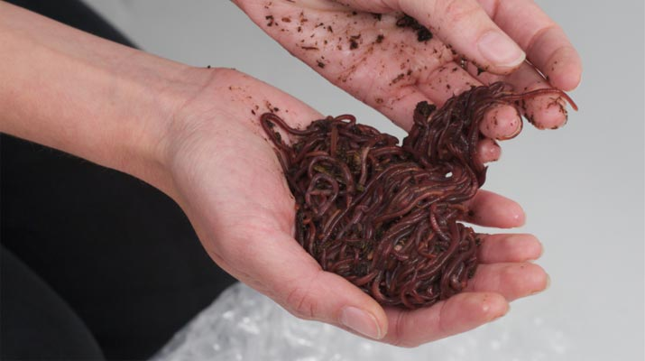 composting redworms